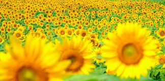Sunflower & Kochia Land